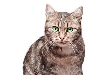 mooie Europese kat op een witte achtergrond