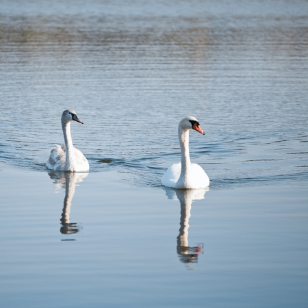 Couple of swans on the lake photo