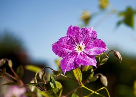 purple flower in full blossom against blue sky with shallow depth of field  focus on flower photo