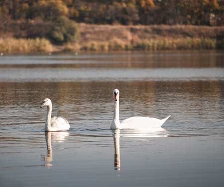 two white swans floating on the water photo