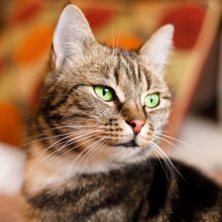 Beautiful European cat in front with green eye Standard-Bild