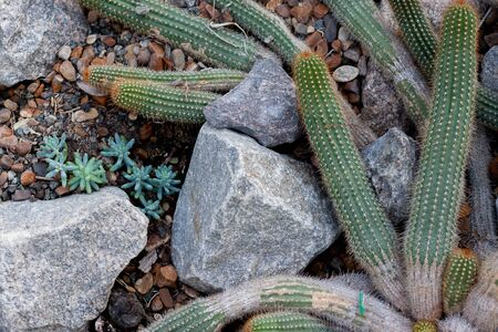People who inhabited the Americas before the advent of Europeans widely used cacti in their lives. Cacti were used as food, for religious ceremonies, as medical preparations, as a source of coloring matter, building material, hedge material.