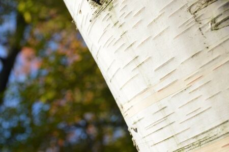 papery: Closeup of birch tree bark at an angle