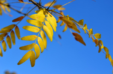 langosta: Yellow Autumn leaves of Sunburst Honey Locust tree