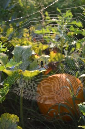 WEAVER: Zipper Spider web in pumpkin patch