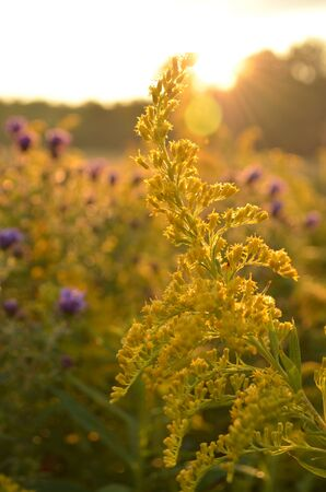 Sunrise over beautiful country field with goldenrod & roadside wildflowers Stock Photo