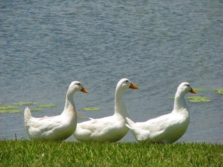 Drie witte eenden op een rij op de meerkust