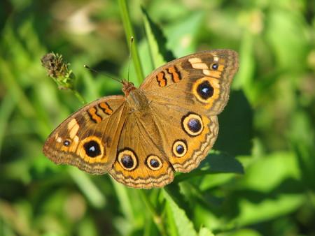 Mangrove Buckeye Butterfly on green background
