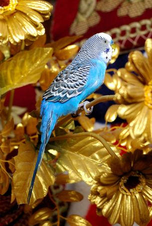 The Blue wavy parrot sits in golden branch. photo