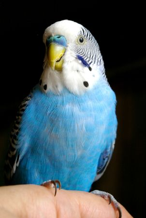 The Blue wavy parrot sits on hand. photo