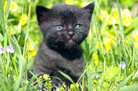 The Small black kitty with blue eye walks in herb. Stock Photo