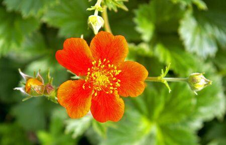 five petals: The Bright flower bright, red, five petals. The Festive postcard.