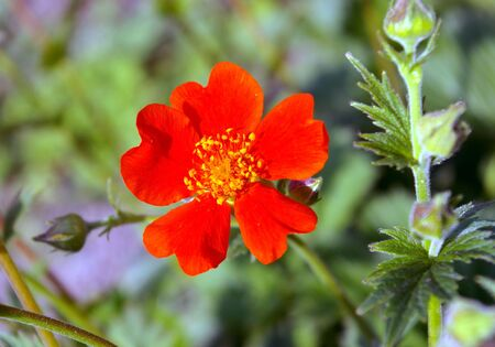 The Scarlet flower.The Bright flower bright, red, five petals. The Festive postcard. Stock Photo