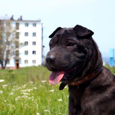 ソート: 並べ替え黒シャーピーの子犬。 写真素材