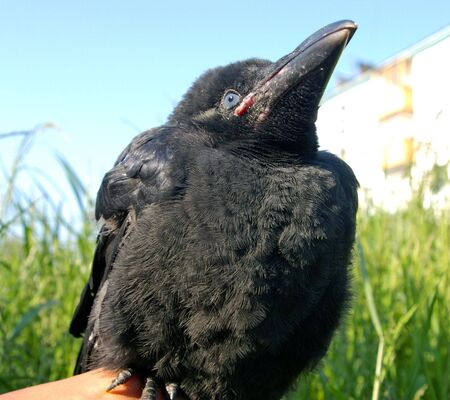 black plumage: The Nestling ravens. The Small nestling ravens plumage, black, big beak. Sits on hand.