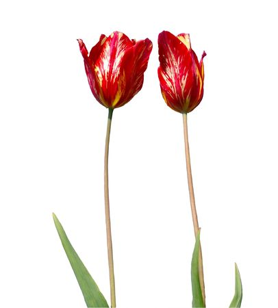 insulated: Two tulips, insulated, on white background. Stock Photo