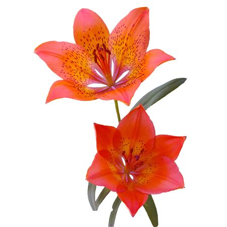 Two lilies on white background. Stock Photo - 3271766