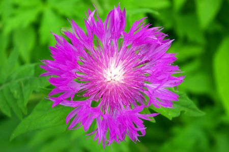 mauve: The Mauve cornflower.