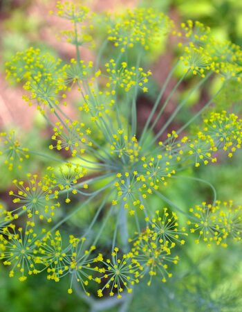 dill seed: The Seed of the dill.The Flowering seed of the dill. The Close-up.