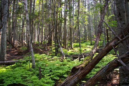 toppled: In taiga.Old toppled stems of the pine in taiga. Stock Photo