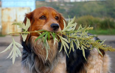 teeths: The Dog with branch wormwood. Stock Photo