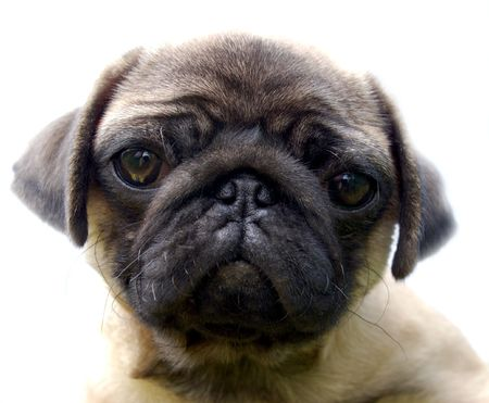 The Puppy pug  photo