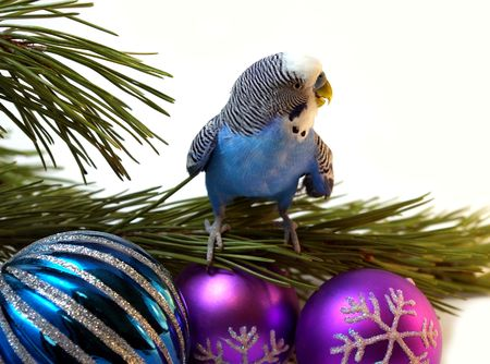 The Blue parrot on fir tree, Christmas. photo