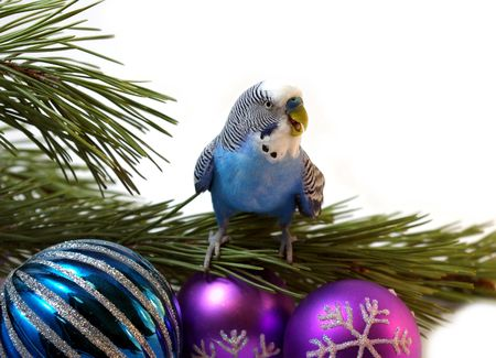 Blue parrot on fir tree, Christmas.