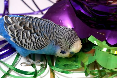 Blue wavy parrot plays with varicolored tinsel. White background. photo