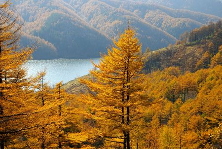 Autumn larches and mountain  lake.