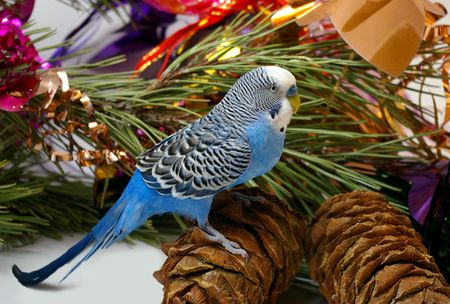 Blue wavy parrot and cedar big shots photo