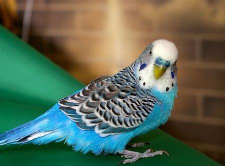 Blue wavy parrot. photo