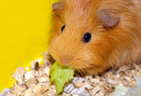 Guinea pig photo