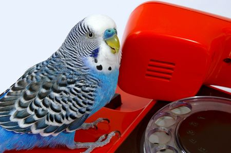 Blue wavy parrot and red telephone photo