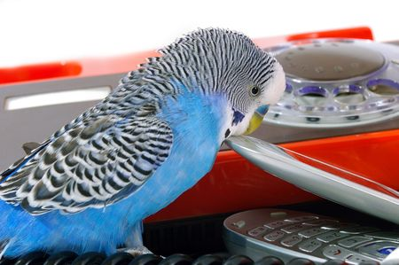 Blue wavy parrot and telephones photo
