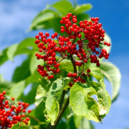 Red berries of  elderberry