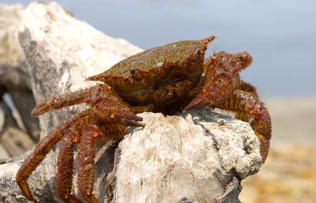 far eastern: Crab hair far eastern Stock Photo