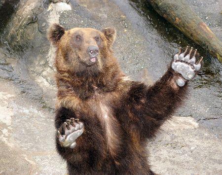 bear paw:  Japanese Brown bear. The Park of the bears in Japan,Hokkaido.