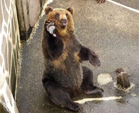 Japanese Brown bear. The Park of the bears in Japan,Hokkaido.