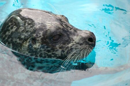 Ringed seal sails in water Stock Photo