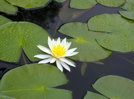 White water lily in pond Stock Photo