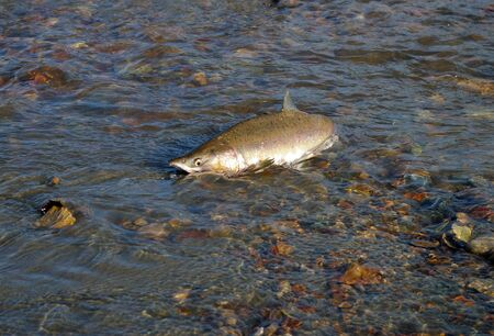 Fish salmon in river on spawning
