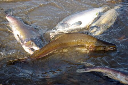 spawning: Fish salmon in river on spawning