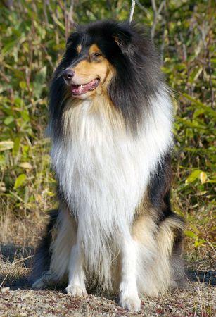sort:  Dog sort collie, paint - three colours   Stock Photo