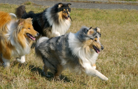 Three dogs collie different color motion (focus on redhead dog)