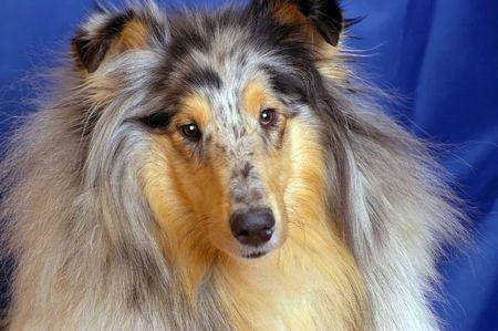 ソート: 犬種コリー大理石のペイント、肖像フロント