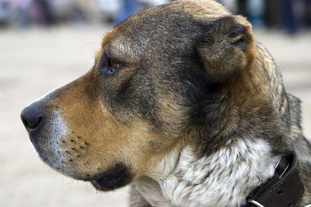 truncated: Asian sheepdog (portrait in profile) Stock Photo