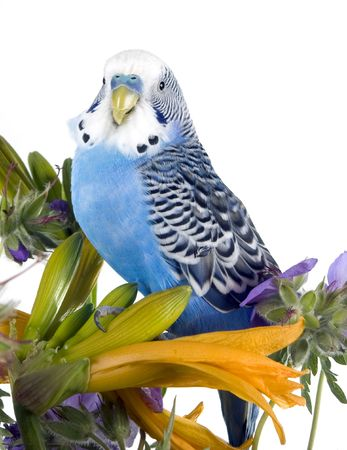 blue wavy parrot sits on a flower (isolated on a white background)  parrot sits on a flower   photo