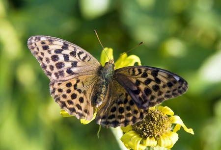 spotty: butterfly spotty     Stock Photo
