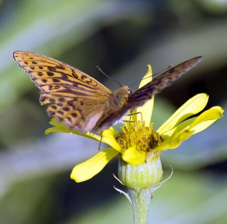 blotched: butterfly brown with black stains sits on a flower